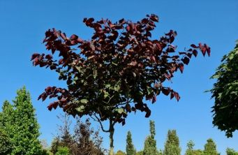 Afbeelding Amerikaanse Judasboom 'Forest Pansy' - Cercis canadensis 'Forest Pansy'