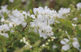 Afbeelding Parelstruik 'The Bride' - Exochorda macrantha 'The Bride'