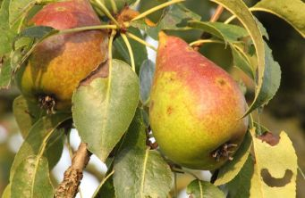 "Afbeelding Handpeer  ""Charneux"" - Pyrus communis 'Charneux'"