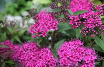 Afbeelding Spierstruik 'Anthony Waterer' - Spiraea japonica 'Anthony Waterer'