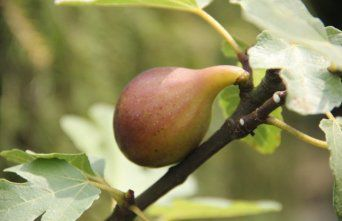 Afbeelding Vijg - Ficus carica 'Brown Turkey'