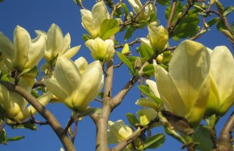 Afbeelding Magnolia 'Yellow River', hoogstam - Magnolia 'Yellow River'