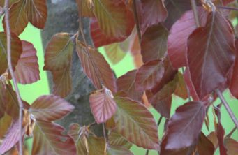 Afbeelding Rode treurbeuk 'Purple Fountain' - Fagus sylvatica 'Purple Fountain'