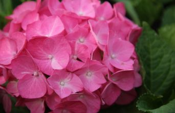 Afbeelding Hortensia Forever & Ever Red - Hydrangea Forever & Ever Red