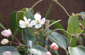 Afbeelding Bosrank 'Apple Blossom' - Clematis armandii 'Apple Blossom'