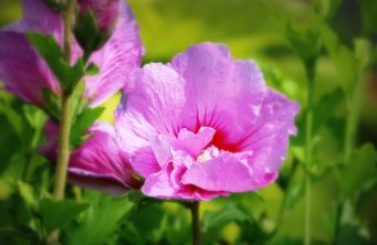 Afbeelding Altheastruik 'Lavender Chiffon' - Hibiscus syriacus 'Lavender Chiffon'
