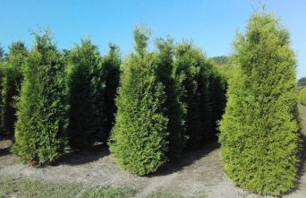 Afbeelding Westerse Levensboom, haagplant  - Thuja occidentalis 'Brabant'
