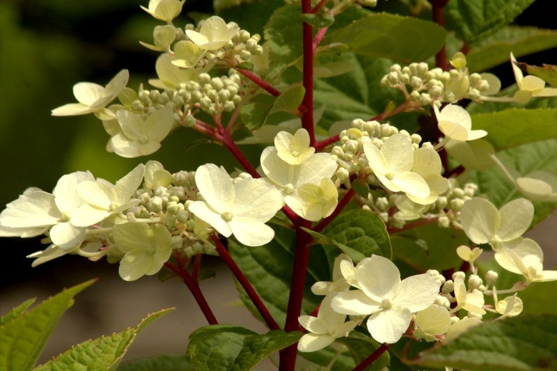 pluimhortensia hydrangea paniculata 39 wim 39 s red 39 kopen vanaf 6 21 ten hoven boomkwekers apeldoorn. Black Bedroom Furniture Sets. Home Design Ideas