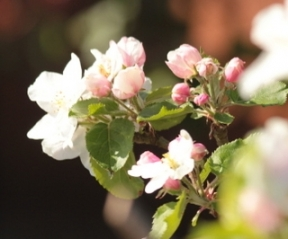 Malus Lunterse Pippeling