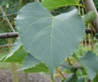 Blad Winterlinde 'Greenspire', leivorm
