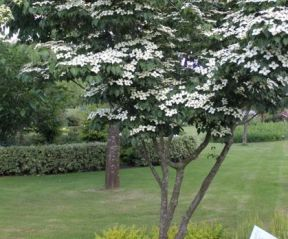 Cornus kousa 'China Girl'