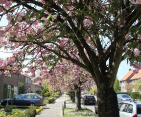 Prunus serrulata 'Kanzan' in straatbeeld