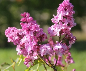 Syringa Esther Staley