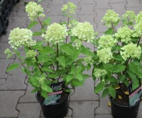 Pluimhortensia 'Little Lime' in pot