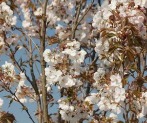 Prunus 'Sunset Boulevard'