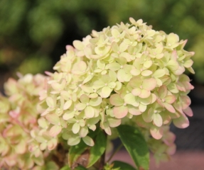 Pluimhortensia 'Little Lime' bloem