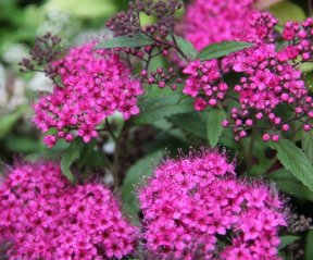 Spiraea Anthony Waterer
