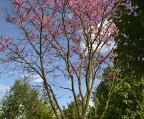 Cercis Siliquastrum ofwel Judasboom in bloei