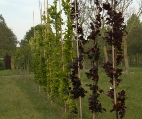 Fagus Dawyck purple