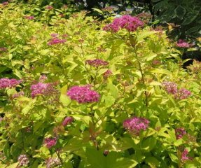 Spiraea jap Golden Princess