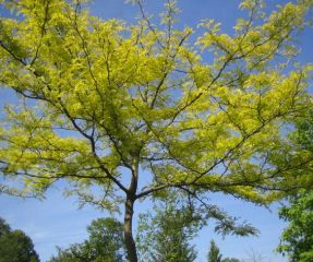 Gleditsia Sunburst kroon