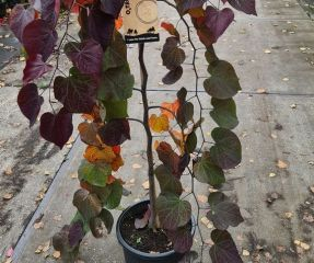 Cercis canadensis 'Ruby Fall's'