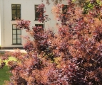 Toepassing Cotinus coggygria 'Royal Purple'