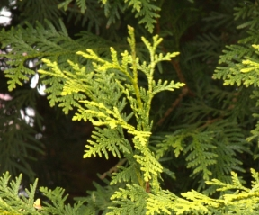 Thuja occidentalis 'Brabant' detail foto