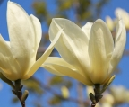 Magnolia 'Yellow River' bloem