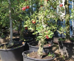 Malus domestica 'Elstar' oude laagstam in container.