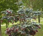 Abies procera clauca