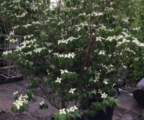 Cornus kousa 'Robert's Select'