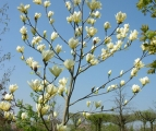 Magnolia 'Yellow River' in bloei