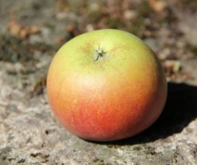 Malus domestica 'Idared'