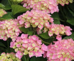 Hortensia 'Magical Coral'