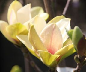 Magnolia Sunsation bloemen