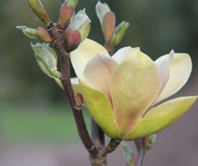 Magnolia Sunsation bloesem