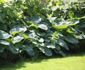 De Hosta sieb. 'Elegans' in een door ons gerealiseerd project