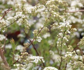 Spiraea nip. 'Snowmound'