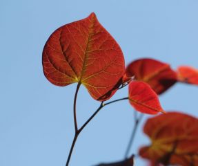 Cercis canadensis 'Ruby Fall's '