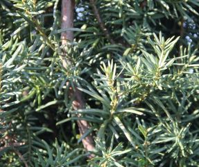 Taxus media Hicksii