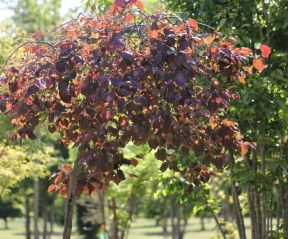 Cercis canadensis 'Ruby Fall's
