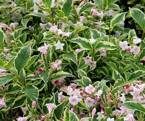 Weigela florida 'Nana Variegata' in volle bloei