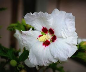 Hibiscus syr Red Heart