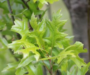 Quercus palustris 'Green Pillar'