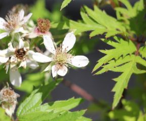 Rubus Thornless Evergreen