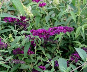 Buddleja davidii 'Royal Red' met bloemen
