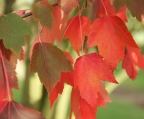Acer Rubrum Red Sunset najaarskleur